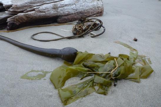 Drift bull kelp, Nereocystis luetkeana