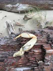 Crab leg on big driftwood
