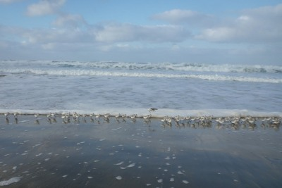 flock of sanderlings at the swash line