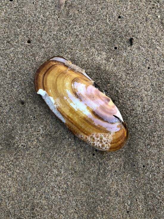 Razor clam shell on beach sand