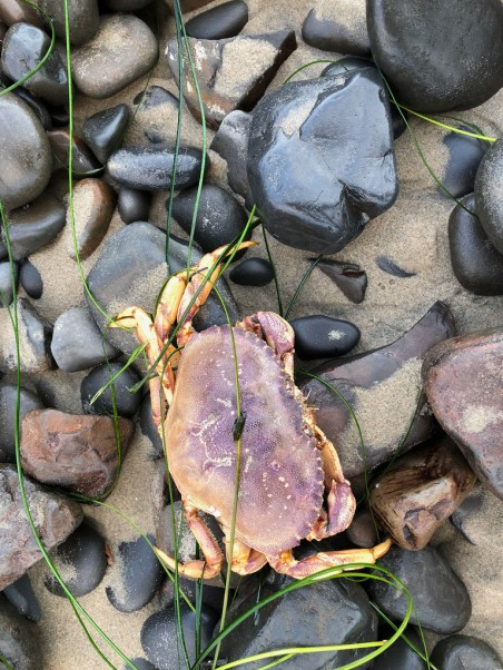 dead crab in the drift line, on wet sand and cobbles