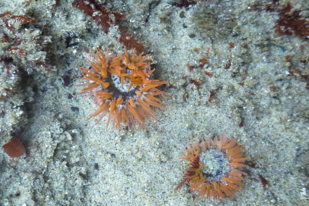 two orange colored moon glow anemones in a low sand filled tide pool.