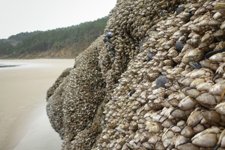 Goose barnacles on a vertical rock jutting out of the sand. Low tide exposes a sandy beach in the background.