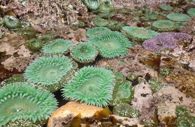Giant green anemones in a low tide pool, with some red algae and orange and purple sea stars