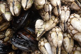 Lottia digitalis perched on a goose barnacle; a couple California mussels in the scene too.