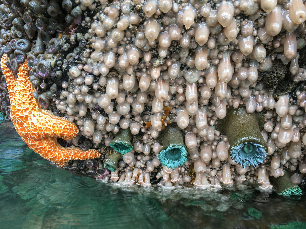 Metridium exposed at low tide; Pisaster and giant green anemones, and aggregating anemones also in view