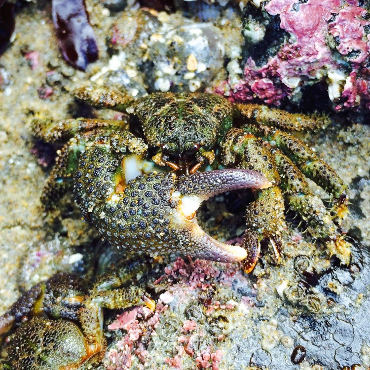 Oedignathus inermis, showing off it's oversize pinching claw. The whole crab exposed on a rock.