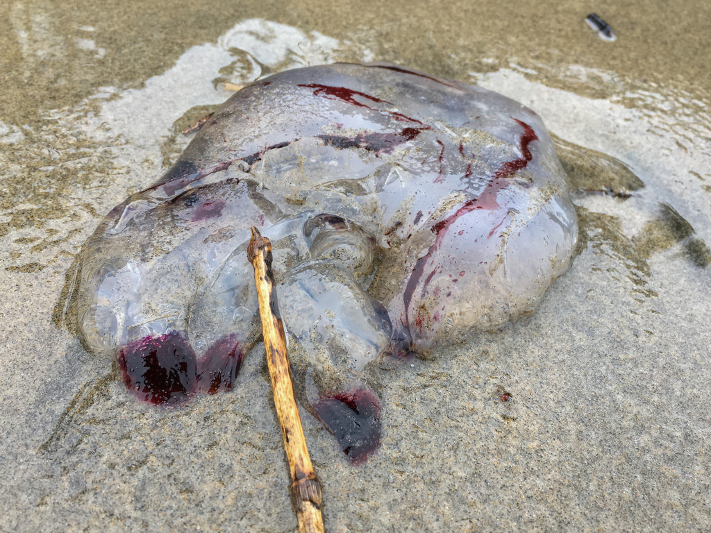 Purple-striped jellyfish, Chrysaora sp., washed up in the drift line.