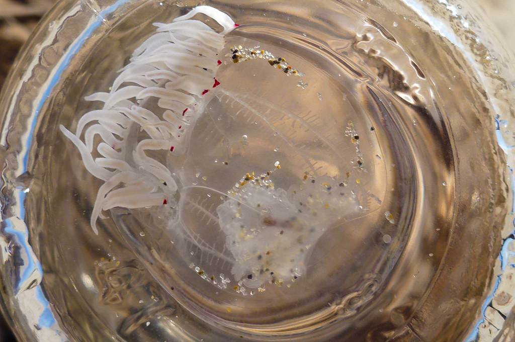 A little bell jelly, probably Polyorchis penicillatus floating in the bottom of an upside down half-pint jar