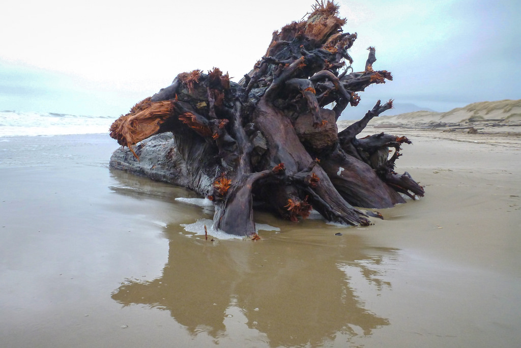 Large root wad on a sandy beach, with it's reflection in wet sand