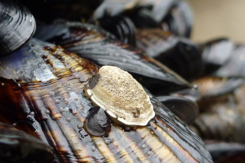 Intimate view, two small limpets on a California mussel, exposed at low tide