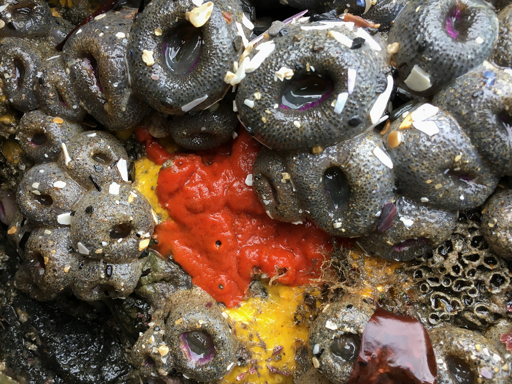 A bright red sponge surrounded by aggregating anemones, exposed at low tide