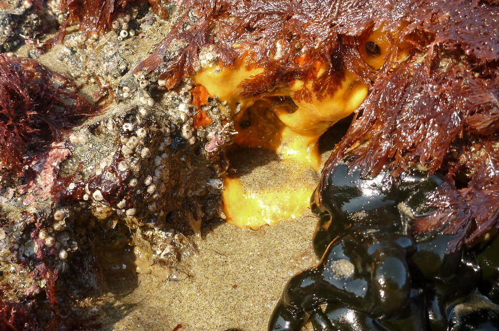 A smooth yellow possible sponge exposed in the low in the low intertidal