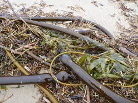 Bull kelp, terrestrial material