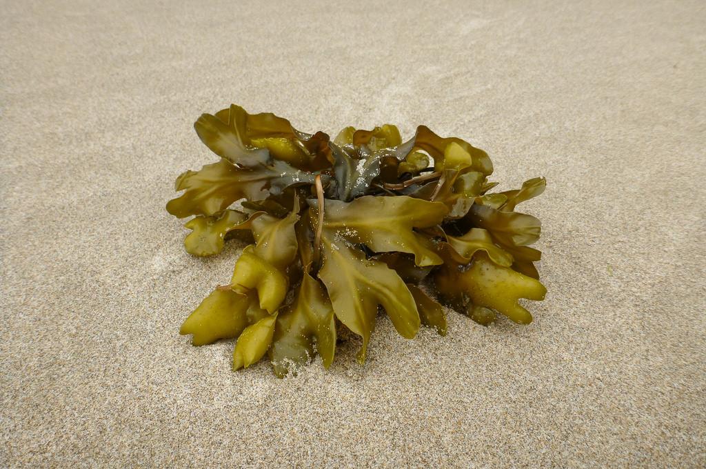 a drift clump on sand