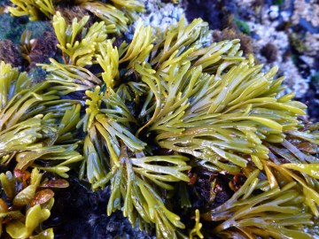Intimate view, small clump exposed at low tide