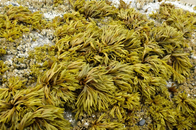 Little rockweed, Pelvetiopsis limitata, overtopping acorn barnacles on a high intertidal rock