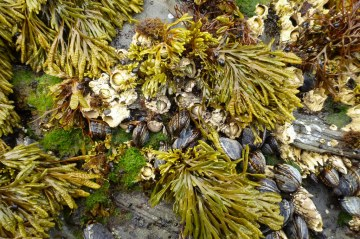 Most at home in the high intertidal, Pelvetiopsis limitata, can creep down among the mussels