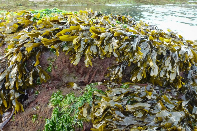Lush growth of focus exposed at low tide