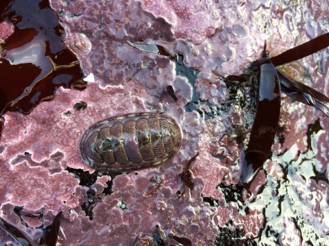 Corallines and chitons layer the lower intertidal