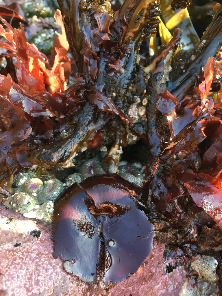 Intimate low intertidal scene, cup and saucer, red crust, Lessoniopsis littoralis, other reds, with morning sunshine filtering through