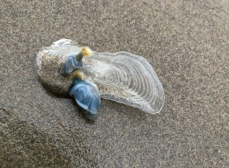 Blue buoy barnacles attached to Velella velella
