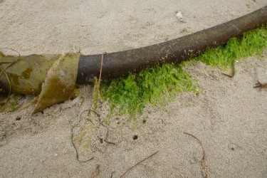 Epiphytic Ulva on a bull kelp stipe | note beach hopper workings in the sand