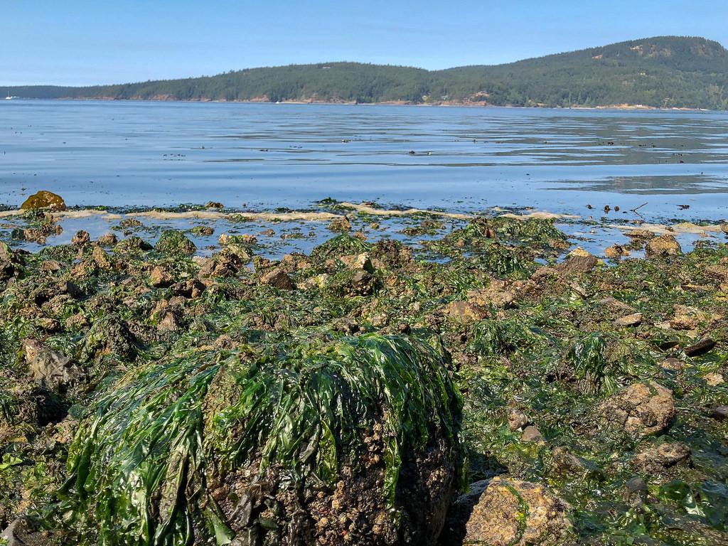 Rocky ulva-covered shores