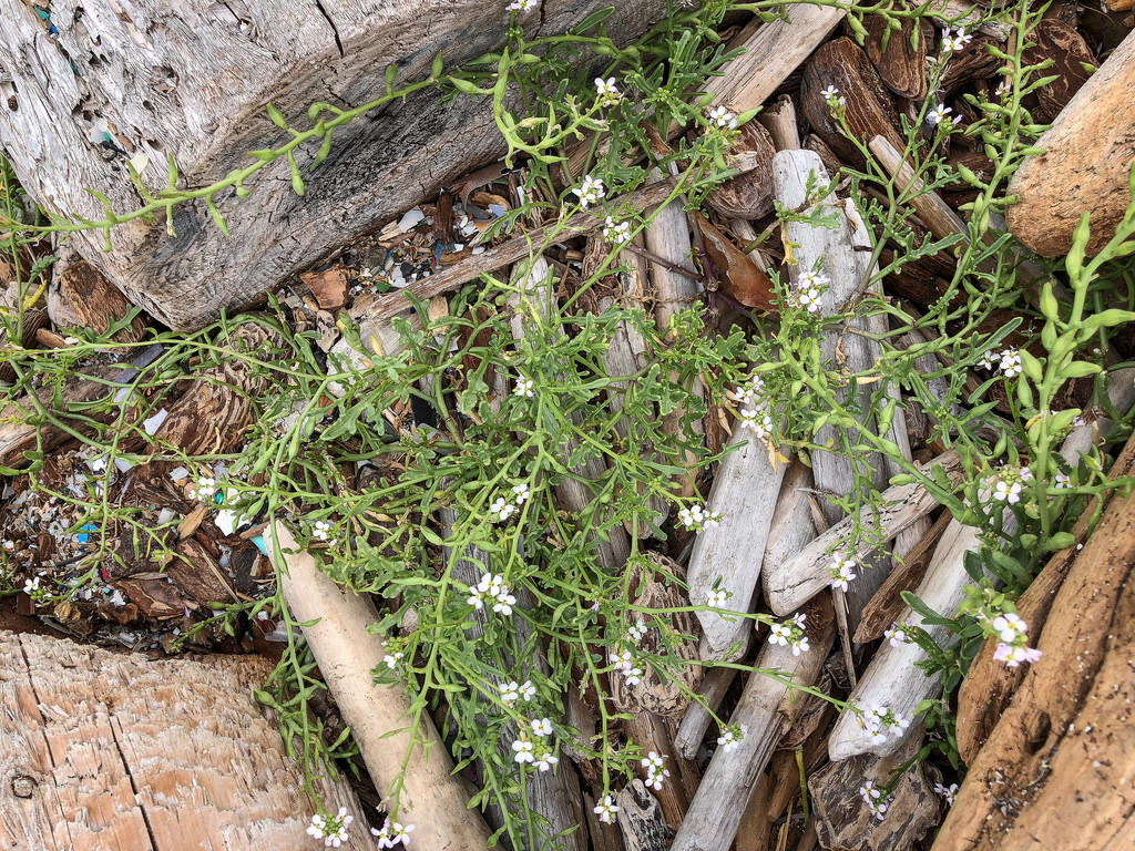 Flowering sea rocket poking up through small driftwood