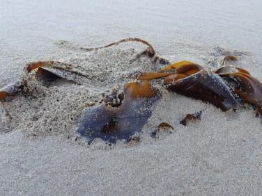 Drifted kelp and beach hopper workings