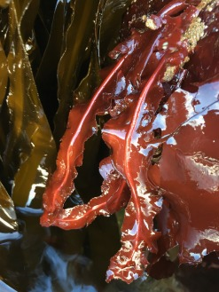 Exposed red blades hanging down into a tide pool