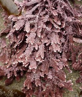 Intimate view of an articulated coralline