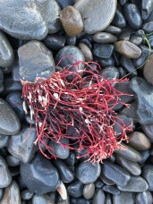 Intact dried clump, bright red, with holdfast on a cobble