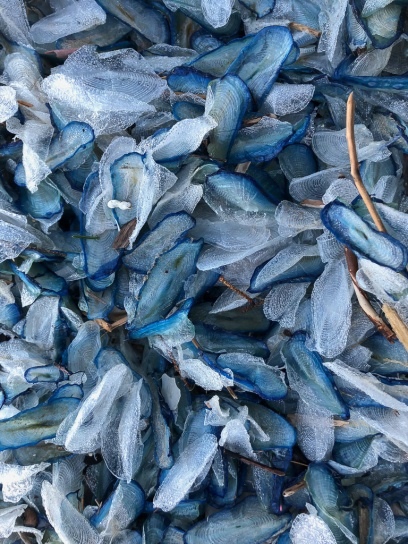 Carpet of drifted Velella velella