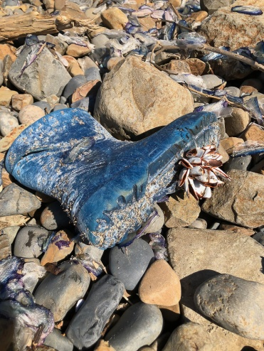 Blu rubber boot with a clump of large pelagic goose barnacles on the sole