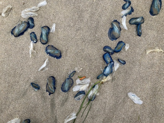 Mix of fresh and bleached Velella velella