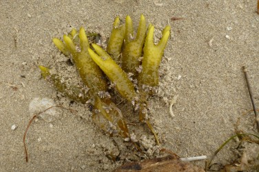 Drift Fucus and beach hopper workings