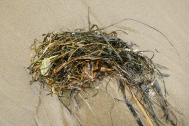 A wad of eelgrass, surfgrass, a bull kelp stipe, pelagic goose barnacles, a bleached Velella