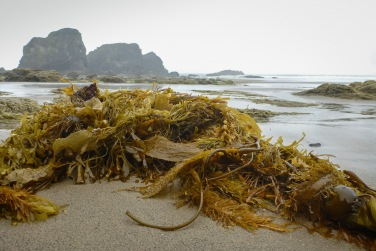 A drift line trifecta: bull kelp, feather boa, Macrocystis