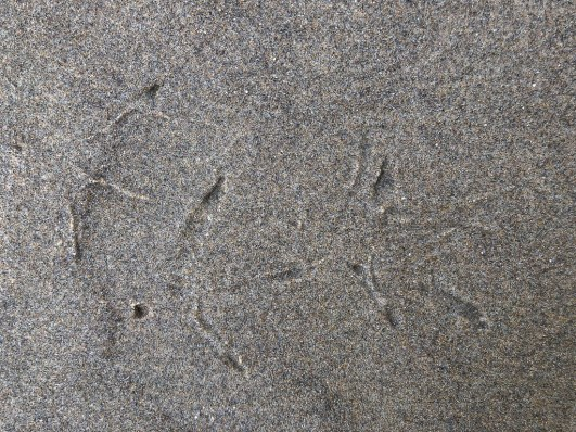 Whimbrel tracks
