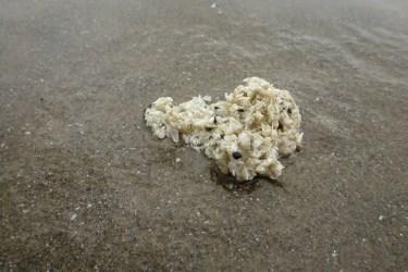 Gull pellet | contents: acorn barnacles