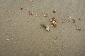 Gull pellet | contents: gooseneck barnacles
