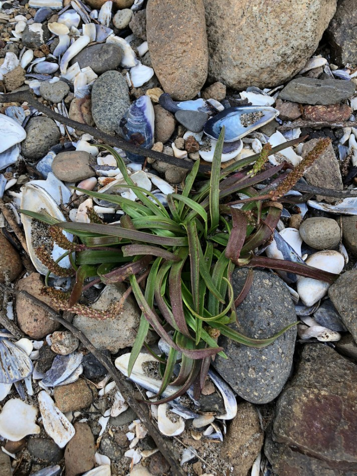 A lone seaside plantain, poking out of a cobble and seas shell rubble