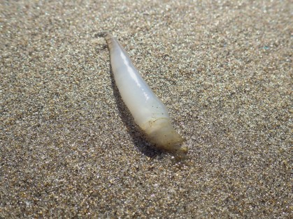 Unidentified translucent white tube, on wet sand