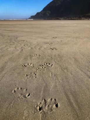 River otter tracks on wet sand