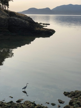 Distant view of a great blue heron hunting in shallow water along the shore.