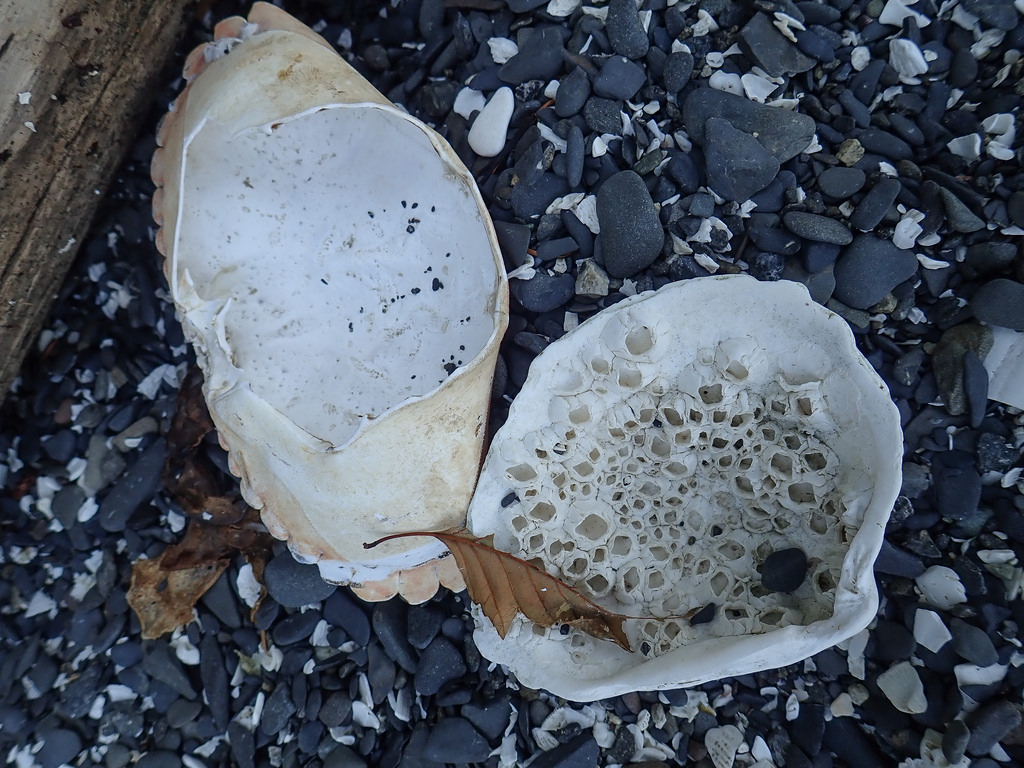 a bleached clam shell with barnacles inside, crab carapace