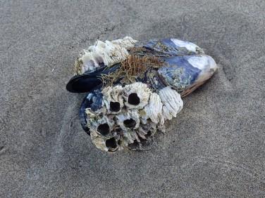 Drifted California mussel, Mytilus californianus, and haystack barnacles, Semibalanus cariosus