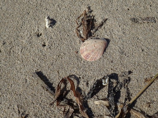 Drifted purplish-pink shell on sand