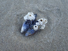 barnacles on a drifted mussel shell